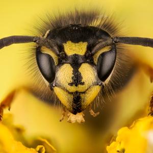 Direkt zum Wespen-Notdienst