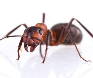ISOTOX - Schutz vor Ameisen