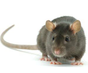 ISOTOX - Schutz vor Ratten
