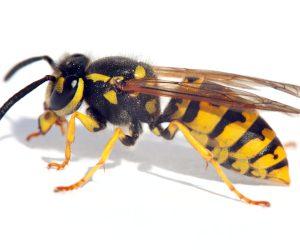 ISOTOX - Schutz vor Wespen