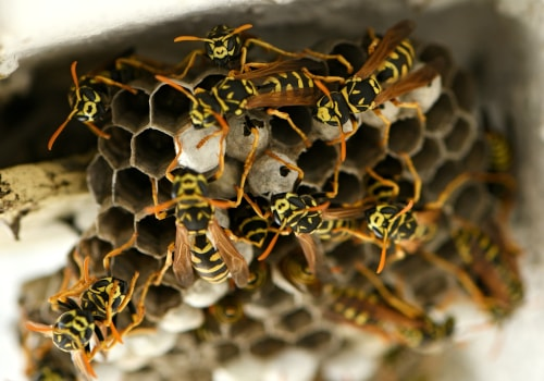 Wespenbekämpfung mit Wespennotdienst